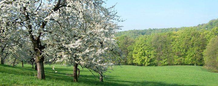 Baum des Jahres 2010: Die Vogelkirsche – prunus avium