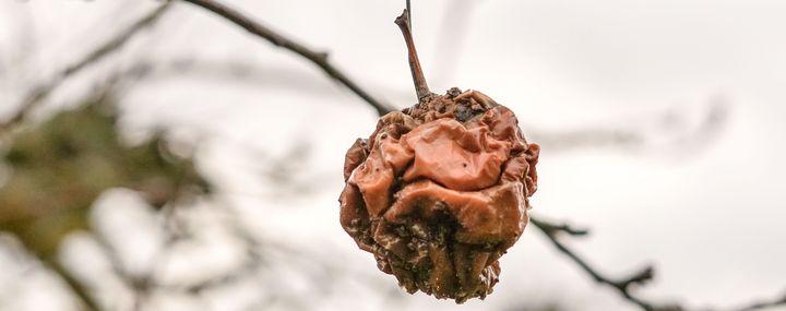 Schutz vor Monilia: Fruchtmumien an Obstbäumen entfernen