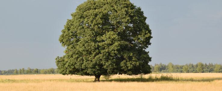 Wann ist ein guter Zeitpunkt für den Pflegeschnitt großer Bäume?