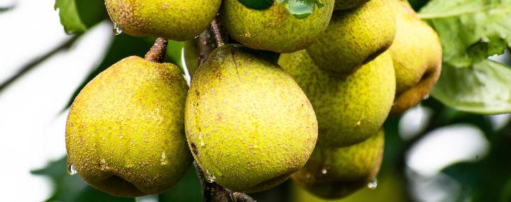 Rechtsfrage Baumpflege: Wer haftet bei herabfallendem Obst?